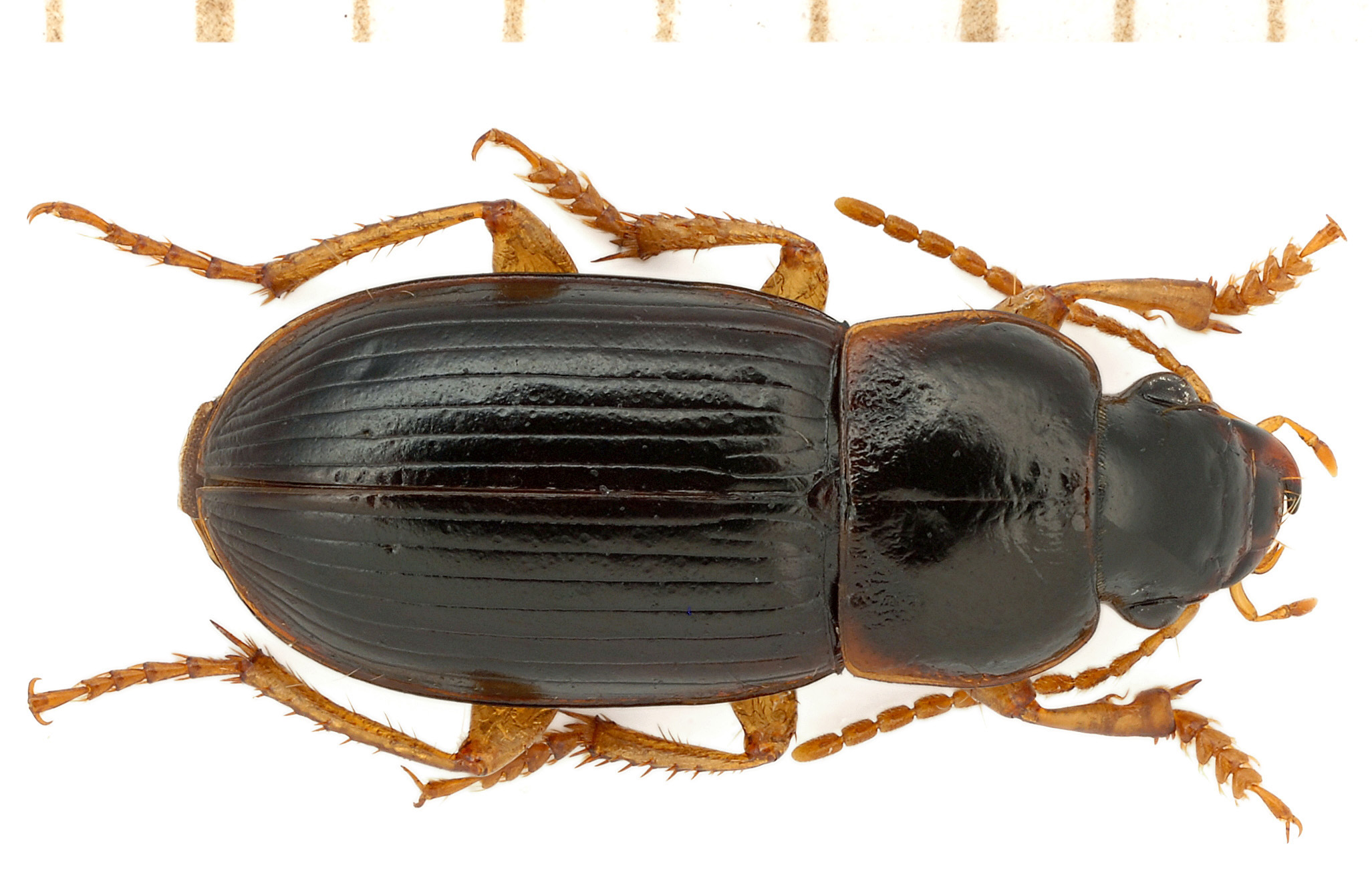 Harpalus luteicornis (Duftschmid, 1812)