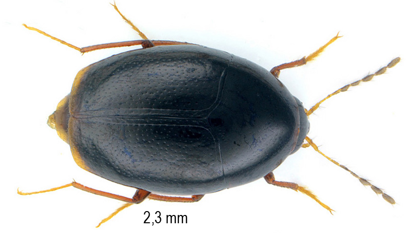 Scaphisoma assimile Erichson, 1845
