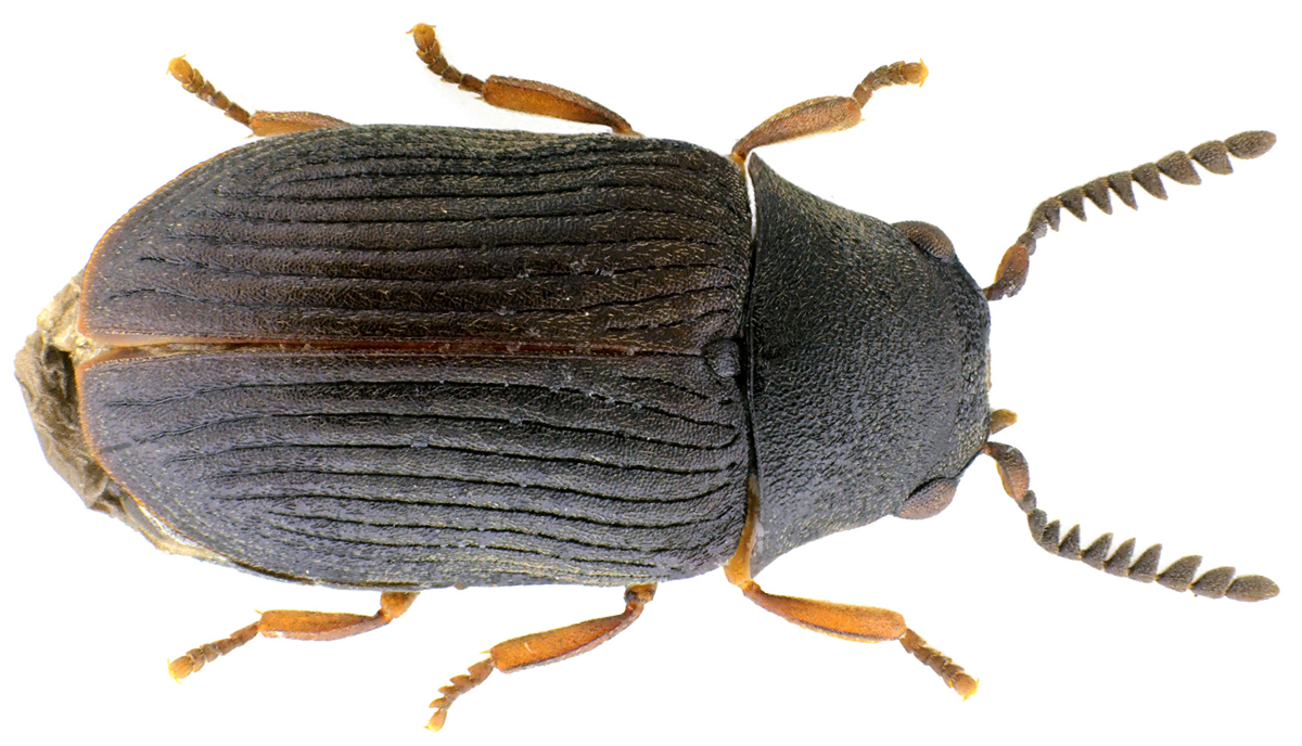Xyletinus ater (Creutzer in Panzer, 1796)